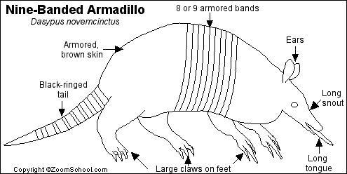 Nine-Banded Armadillo Printout- EnchantedLearning.com