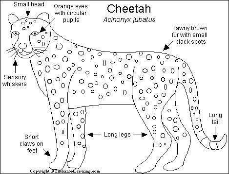 Cheetah Printout- EnchantedLearning.com