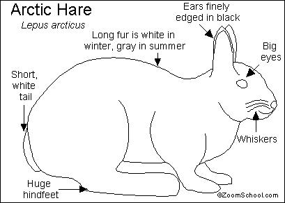 Arctic Hare Printout- EnchantedLearning.com