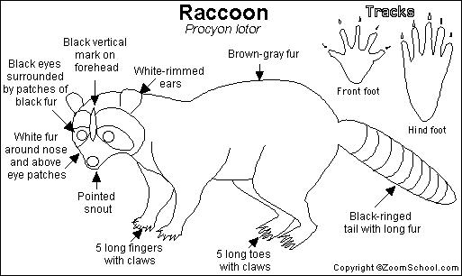 Raccoon Printout- EnchantedLearning.com