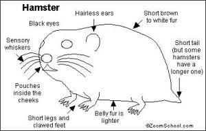 Hamster Printout EnchantedLearning