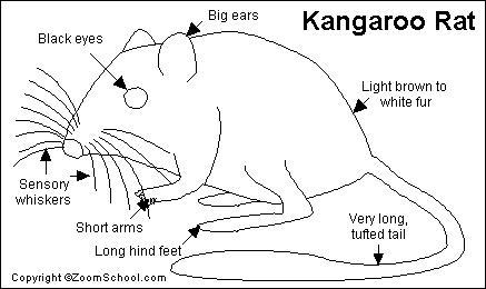 Kangaroo Rat Printout- EnchantedLearning.com