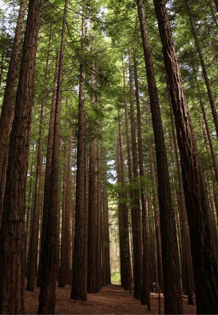 Warburton Redwood Forest Trees