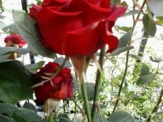 Cuento sobre las rosas