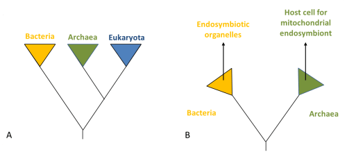 small resolution of how did the eukaryotic cell evolved