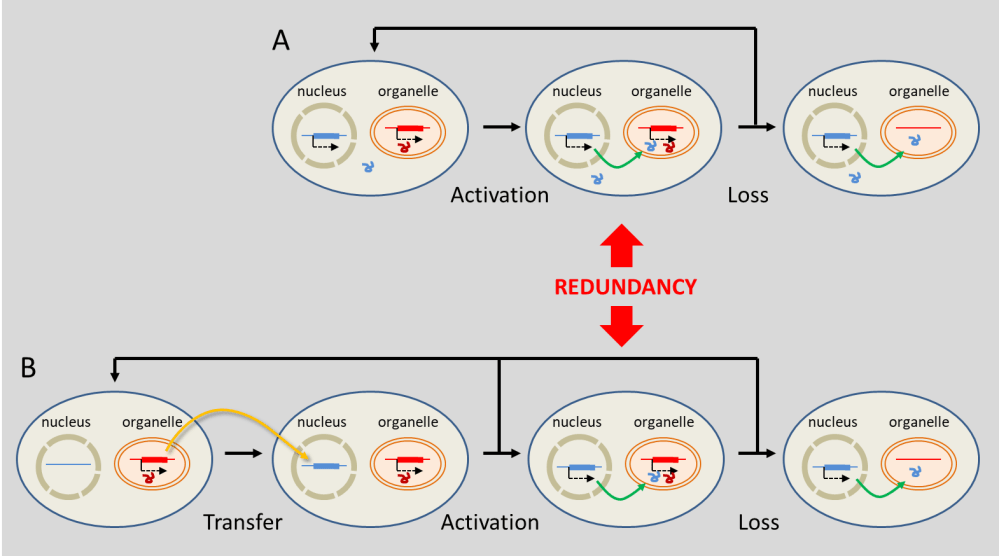 medium resolution of figure 7 evolutionary mechanisms leading to the replacement of organelle genes by genes located in the nucleus substitution a involves genes of true