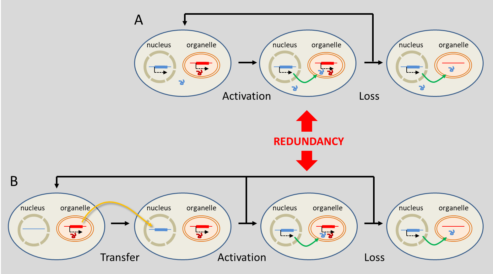 hight resolution of figure 7 evolutionary mechanisms leading to the replacement of organelle genes by genes located in the nucleus substitution a involves genes of true