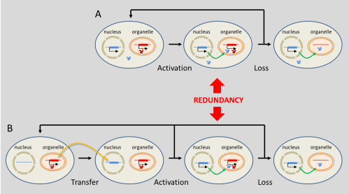 small resolution of figure 7 evolutionary mechanisms leading to the replacement of organelle genes by genes located in the nucleus substitution a involves genes of true