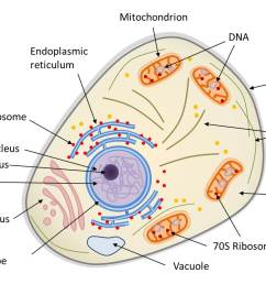diagram of the structure of a eukaryotic animal cell the animal cell is compartmentalized it contains an endomembrane system nuclear envelope  [ 1319 x 831 Pixel ]