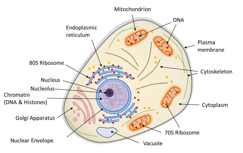 medium resolution of diagram of the structure of a eukaryotic animal cell the animal cell is compartmentalized it contains an endomembrane system nuclear envelope