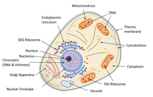 small resolution of diagram of the structure of a eukaryotic animal cell the animal cell is compartmentalized it contains an endomembrane system nuclear envelope