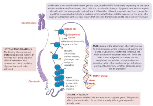 small resolution of from chromosomes to genes organization and epigenetic modifications of the genome the genome is organized within a structure known as chromatin
