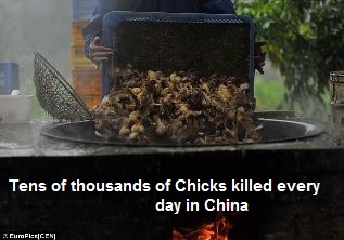Chicks Killed in China