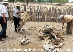 Dead Cattle in Peru