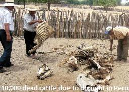 Dead Cattle in Peru