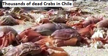 Dead Crabs in Chile