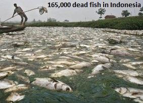 Dead Fish in Bantul