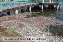 Dead fish in California