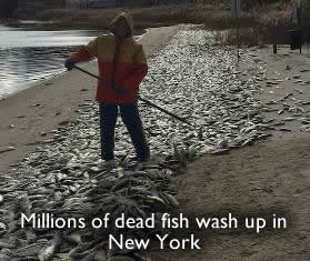 Les poissons morts à New York