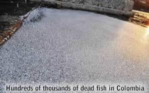 Dead fish in Santa Marta
