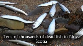 hareng mort au Canada
