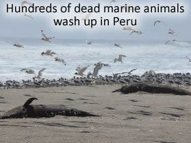 Dead Marine animals in Peru