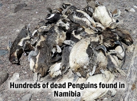Dead Penguins Namibia