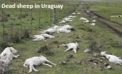Dead Sheep in Uraguay