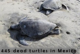 tortues mortes à Guerrero