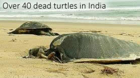 tortues mortes dans Odisha