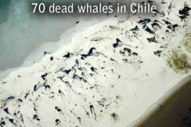70 dead whales in Chile