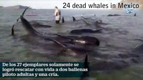 Les baleines mortes en Baja