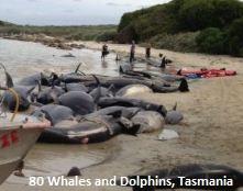 Dead Whales in Tasmania