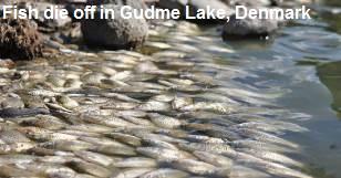 Fish Die off in Gudme