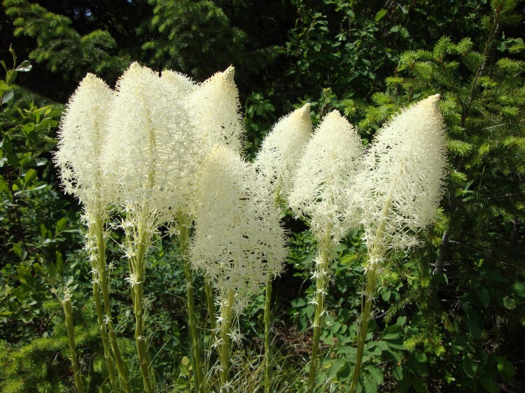 The Bear Grass is outrageous this year.