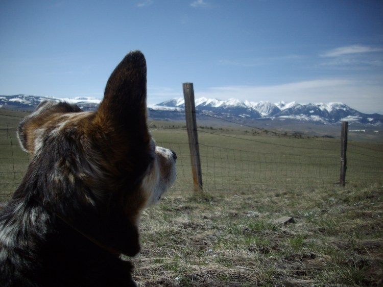 My beloved Claire Dog looking at our magnificant Rocky Mountains. (taken in 2010 on a very, very clear day)