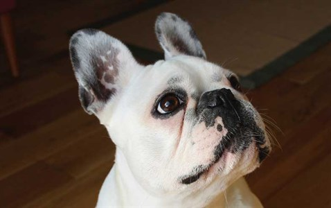 Photo: French Bulldog