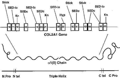 MOLECULAR GENETIC BASIS OF THE HUMAN CHONDRODYSPLASIAS