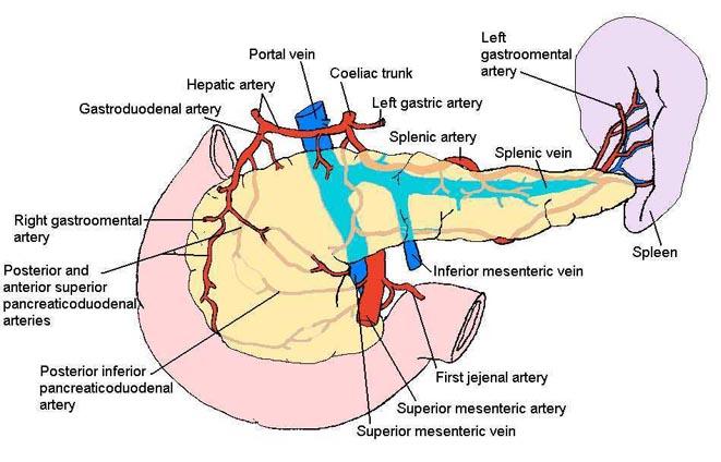 Surgical anatomy of pancreas