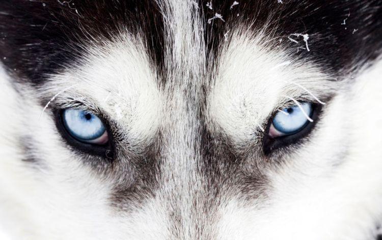 36433440 - close up on blue eyes of a husky dog
