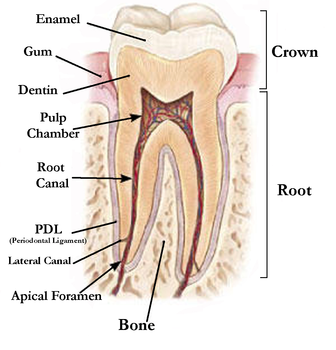hight resolution of inside the tooth under the white enamel and a hard layer called the dentin is a soft tissue called the pulp the pulp contains blood vessels nerves