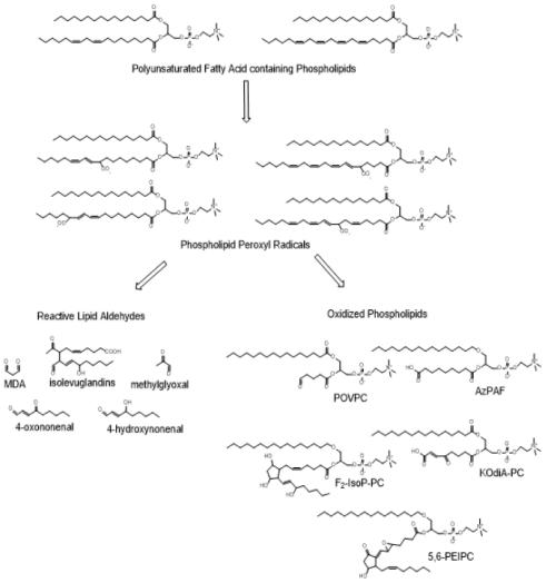 small resolution of figure 7 oxidation of phospholipid polyunsaturated fatty acids oxidation of phospholipids containing polyunsaturated fatty acids present in plasma