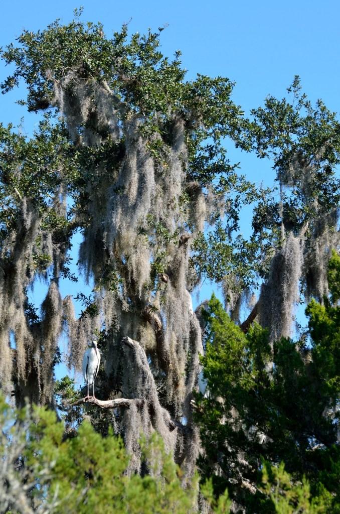 Moss hanging on trees, used for primitive navigation. Unlike modern navigation equipment.