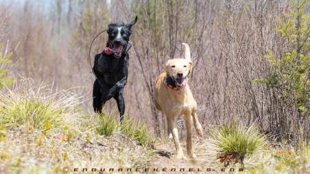 free running sled dogs exercise summer