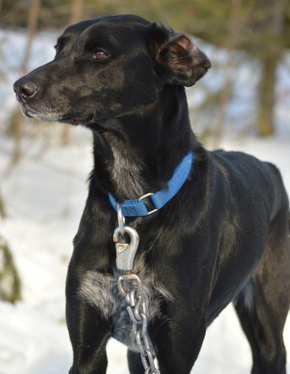 eurohound sprint racing sled dog stud