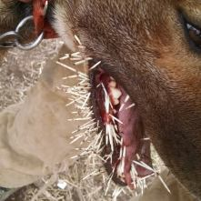 porcupine quills dogs