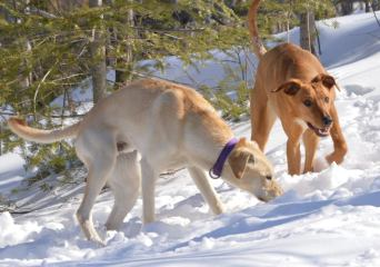 eurohound sprint racing sled dogs