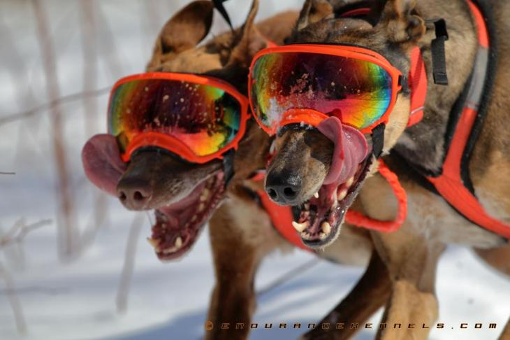 rex specs rexspecs dog goggles sledding dogsledding minnesota duluth two harbors mn