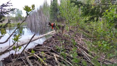 beaver dam alaskan husky