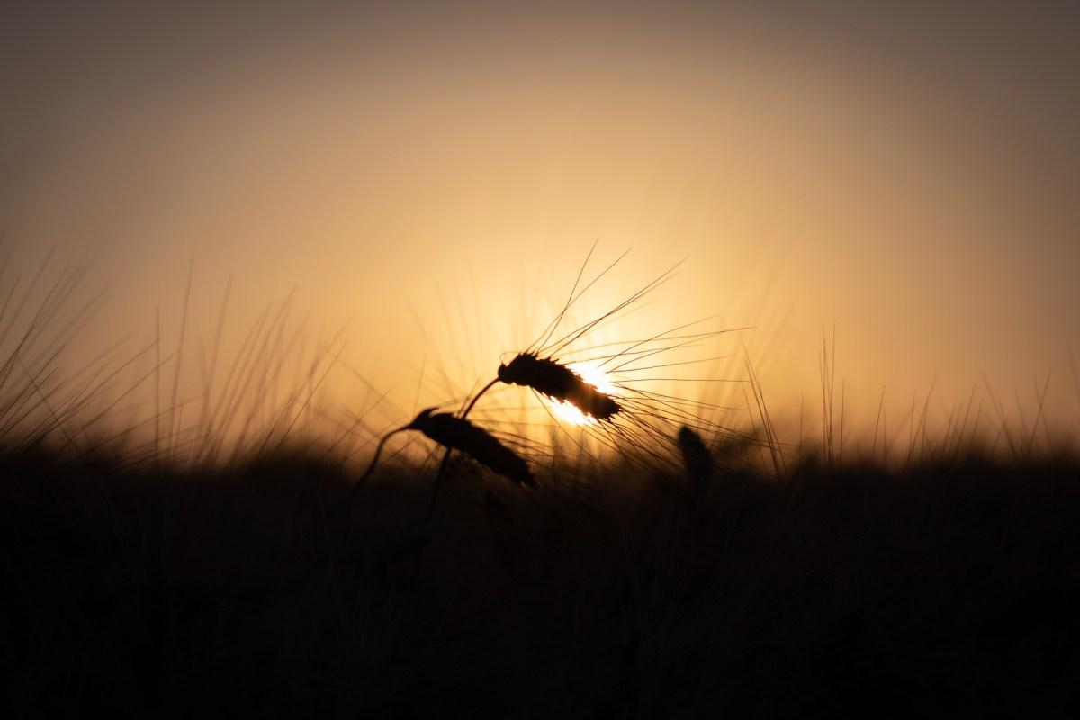 An ear against the sunset light